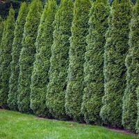 Tips on Spacing Your Cedar Hedge When Planting